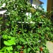 Tomatoes grow in abundance with the help of the Tower Garden.