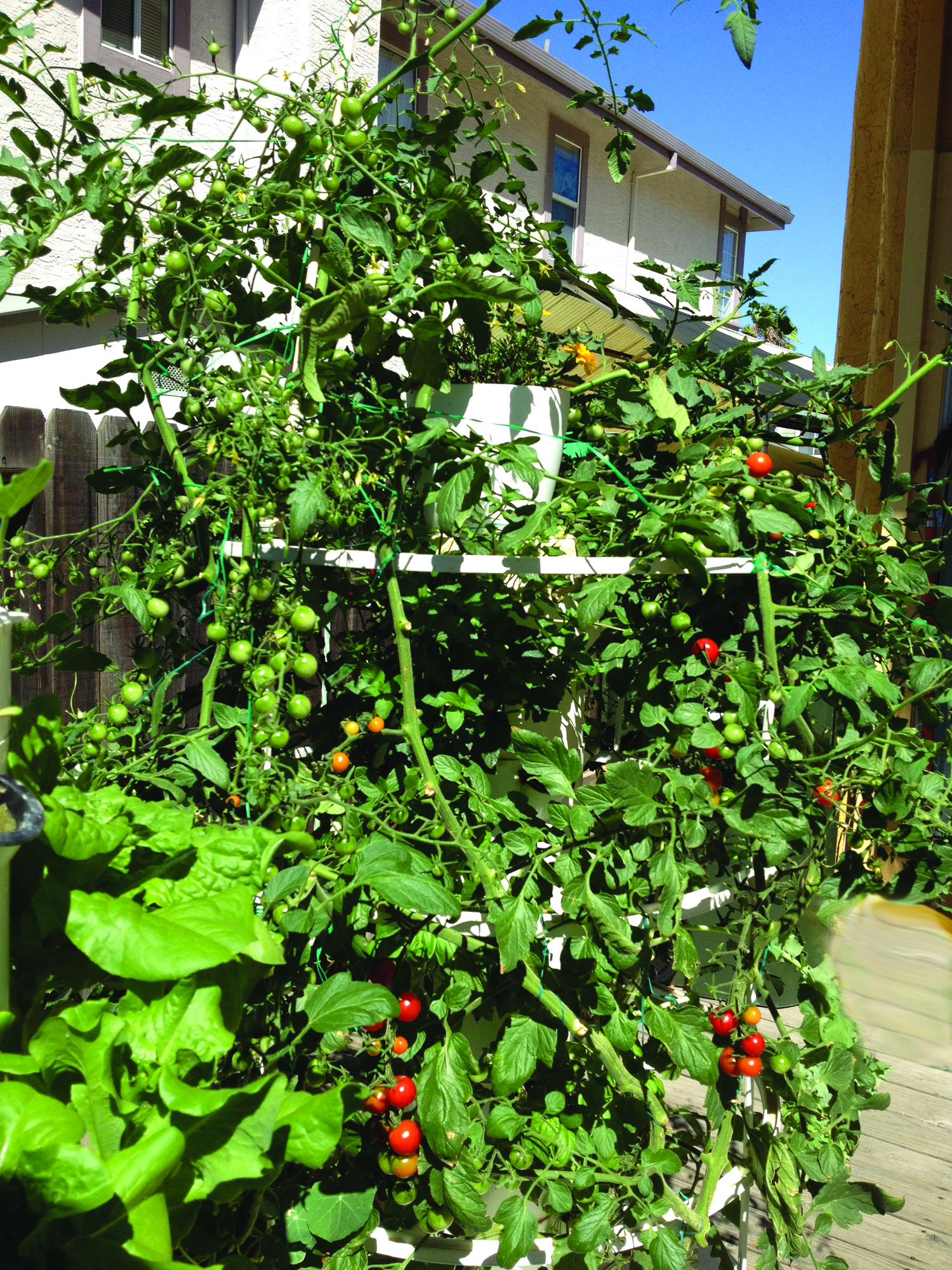 tomatoes 7 27 12 Good Health Begins with Good Organic Food: Now You Can More Easily Grow Your Own