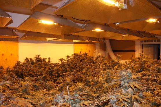 Marijuana cultivation 1 Antioch police bust marijuana cultivation early Friday morning